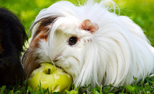 alimentation cochon d inde