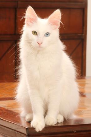 angora turc
