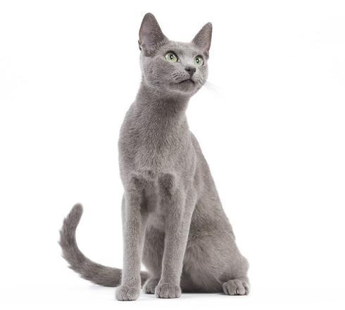 chat bleu de russie