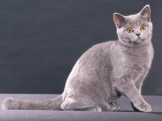 chat british shorthair gris