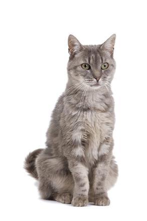chat européen