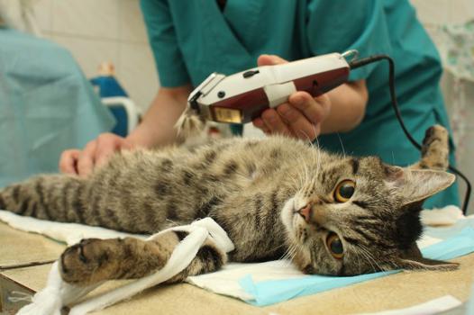 chat stérilisé