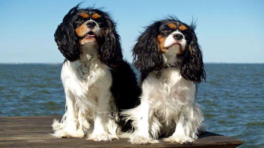 chien royal