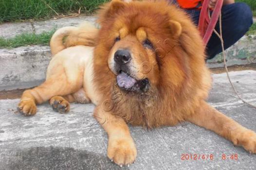 chow chow lion