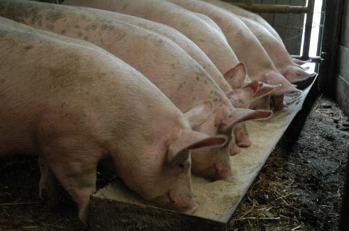 granulés pour cochon