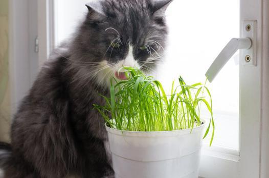herbe à chat effet