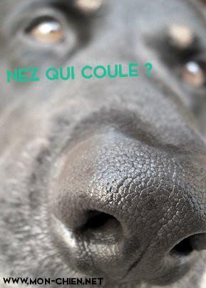 mon chien a le nez qui coule