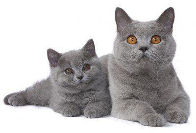 race de chat